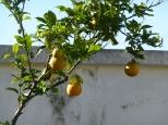 Appelsintreet er litt puslete, men bærer frukt