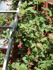 bjørnebær i ville mengder i år