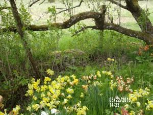 Stenbackens woodland med primula og narsisser