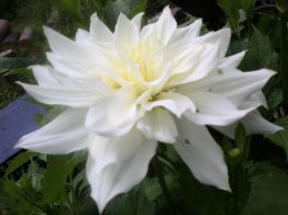 flora georgine 072