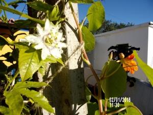 Passiflora edulis, pasjonsfrukt på gang.